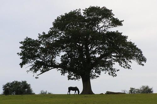Backley Holmes oak silhouette